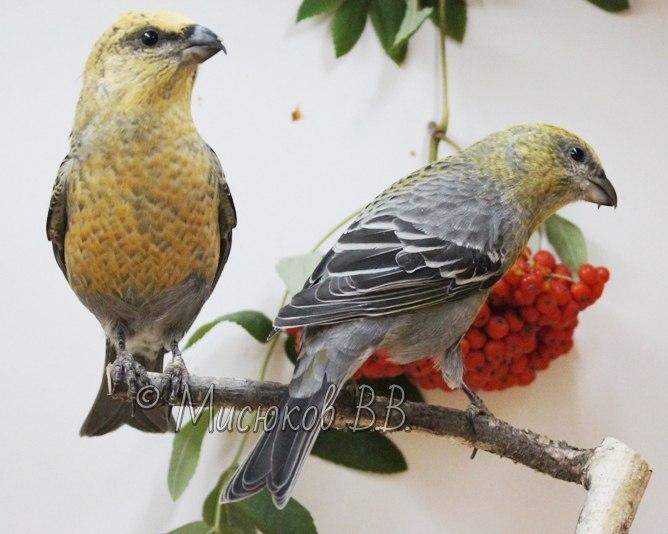Фотографии моих птиц  - Страница 3 YdXrZQBv3AM