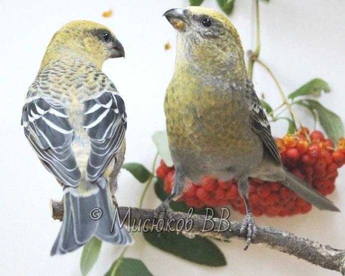 Фотографии моих птиц  - Страница 3 Mnkt97ZhRlM