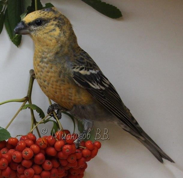 Фотографии моих птиц  - Страница 3 N4GFGYcH2R4