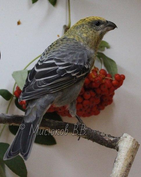Фотографии моих птиц  - Страница 3 Abo_yYxOE7A