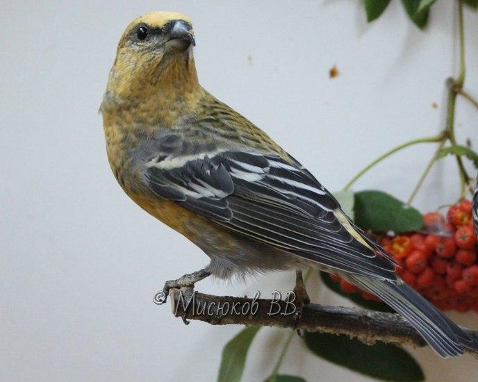 Фотографии моих птиц  - Страница 3 Gfhyod4nIo0