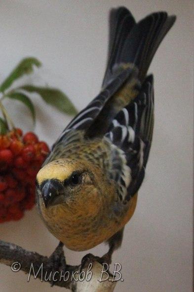 Фотографии моих птиц  - Страница 3 Yb70lUGa30I