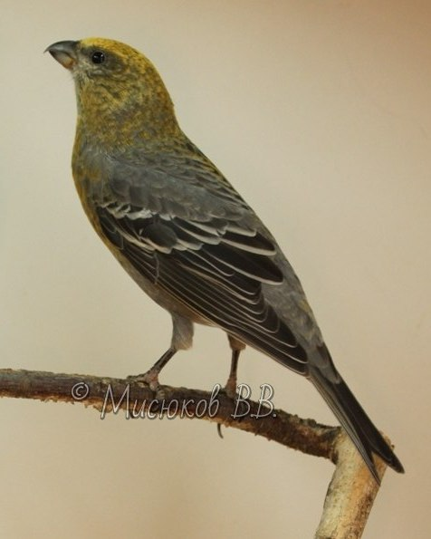 Фотографии моих птиц  - Страница 3 NaHQ_XtdPwI