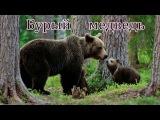 Голоса и звуки диких животных России для детей