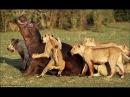 Необычное Поведение Животных. Дикость в чистом виде (Документальные фильмы HD)