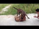 Канарский дог Vs Питбуль Fighting Dogs Собачьи бои Presa Canario против Pitbull
