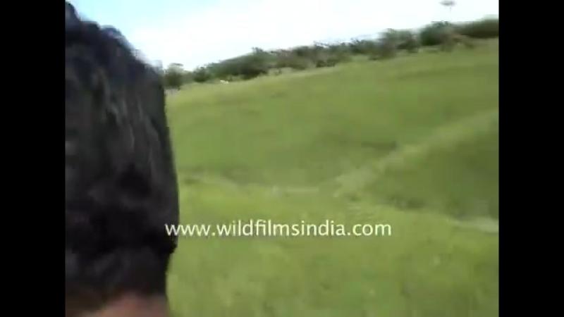 Тигр напал на человека [720p]