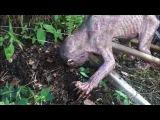 ГОЛЛУМ или РЕЙК??? Шокирующее видео со странным существом сделали очевидцы!..