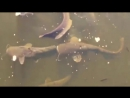 Сомы и карпы реки Припять. Пруды-охладители ЧАЭС. Вы пьете неочищенную воду
