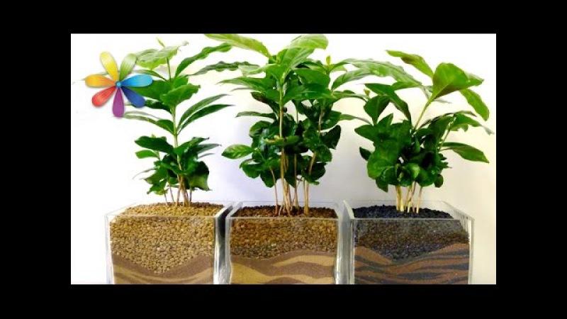 Кофейное дерево: секреты выращивания – Все буде добре. Выпуск 665 от 07.09.15
