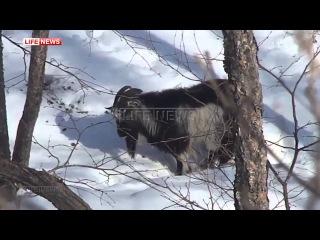 Тигр Амур  напал на козла Тимура и ранил 2016