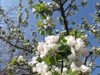 Пора цветения. Яблоня Симеренко - Malus domestica