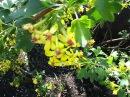 Пора цветения Черная смородина Ribes nigrum