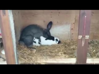 Крол покрыл крольчиху