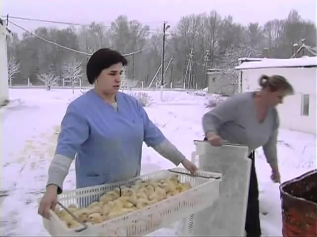 300 тысяч живых цыплят залили ледяной водой