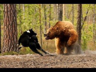 Ужас медведь напал на кабана