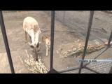 В барнаульском Зоопарке из-за посетителей погибла олениха 27.08.15 (16+)