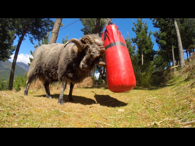 Angry Ram destroys a punching bag..