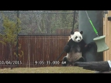 Toronto Zoo Giant Panda Da Mao Plays With Enrichment Toy