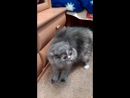Говорящая кошка Соня