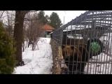 Медведь и алкаши (не лезь дебил она тебя сожрет)