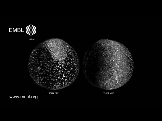 Zebrafish developing under microscope - Digital Embryo