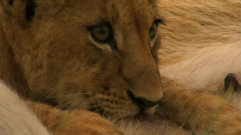 ۩۞۩ Последние львы... жаль осознавать все величие и всю жестокость закона природы...Выживает сильнейший...۩۞۩ Сильнейший фильм