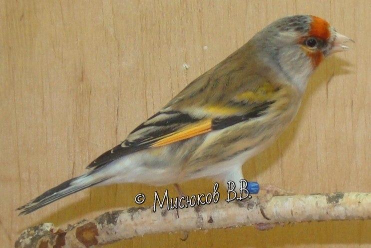Фотографии моих птиц  - Страница 3 JpO_jzrF0TI