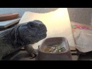 King Tut, my Egyptian Uromastyx, Eating Dried Beans