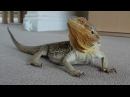 Spike the Bearded Dragon in HD !