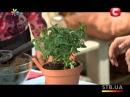 Как ухаживать за домашней розой - Все буде добре - Выпуск 175 - 01.05.2013 - Все будет хорошо