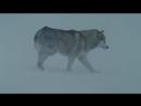 Белый плен 2006 в гл. роли пол уокер, хаски, лайки, маламуты. высокое качество hd 720.