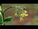 Формирование кустов томата в теплице