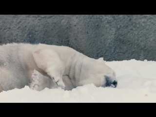 Счастье — это когда полярные медведи впервые видят снег