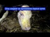 Болезни телят. Родовая травма. Diseases of calves. Birth injury.