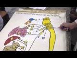 Симп. и пара симпатические нервные части ВНС
