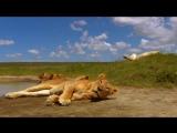 Король Лев приключение в савване