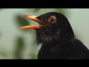 Blackbird. Song. Дрозд черный. Песня. Turdus merula. дикий мир.