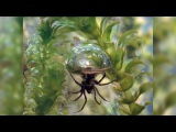 Diving Bell Spider Thumbs Spider Nose at Rules, Lives Underwater