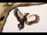 Хохлатая желна / Pileated Woodpecker / Dryocopus pileatus