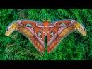 Attacus atlas moth development