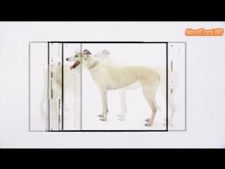 Порода собак - Салюки