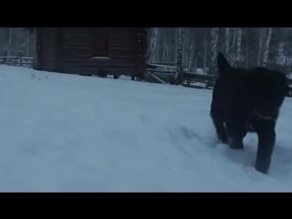 Рабочие собаки черные алабаи с Башкирии щенки САО