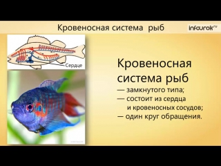 29. Классы Рыб. Общая характеристика рыб. Хрящевые, Костные | Биология 7 класс | ИНФОУРОК