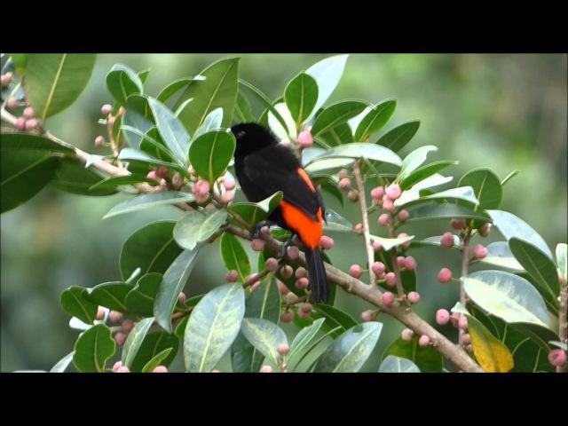 Passerini's tanager / Краснопоясничная расписная танагра / Ramphocelus passerinii