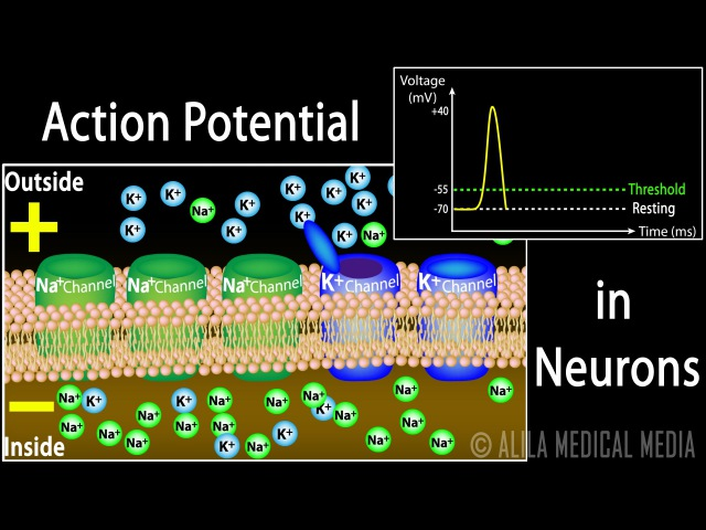 Action Potential in Neurons, Animation.
