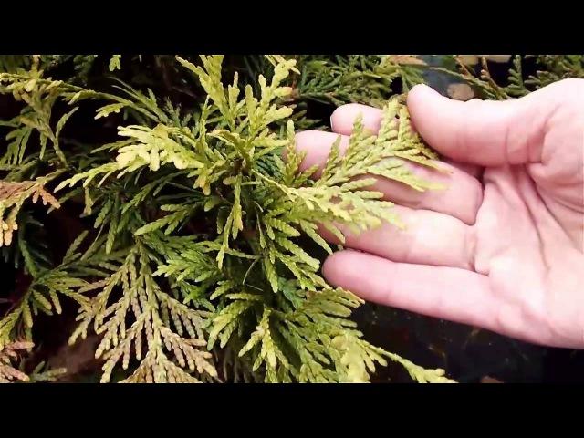 Хвойные растения для сада Сорта туи. Сайт Садовый мир