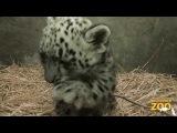 Snow Leopard Cub Born at Brookfield Zoo!