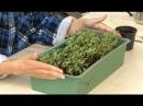 Все о выращивании капусты. КАК УХАЖИВАТЬ ЗА ВСХОДАМИ КАПУСТЫ.Часть 3