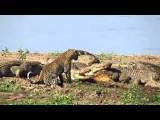 Леопард, крокодилы и гиена у туши антилопы пуку